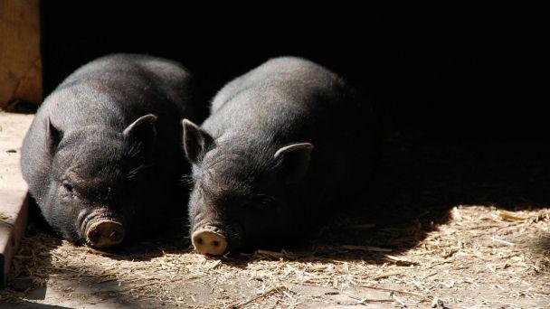 Mimoriadne núdzové opatrenie - chovatelia ošípaných